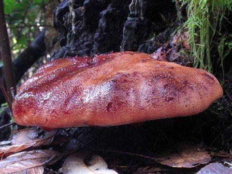 Как чистить и готовить гриб язык